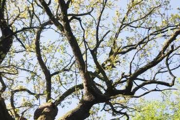 De boom bij de Opfertisch
